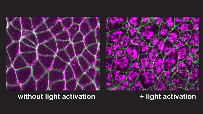 activate or deactivate myosin activity